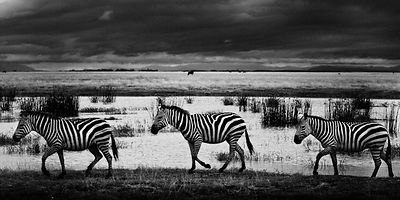 5479-Zebras_walking_in_the_savanna_Laurent_Baheux