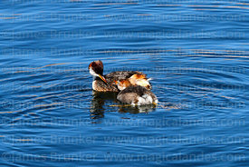 Adult Titicaca flightless grebe (Rollandia microptera) feeding young