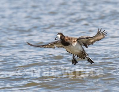 Scaup-Ducks_at_Cambridge_MD-March_04_2017-45-March_04_2017