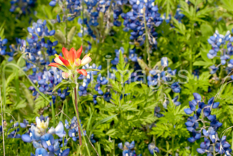Nature Stock Photos: Bluebonnets with an Indian Paintbrush flower