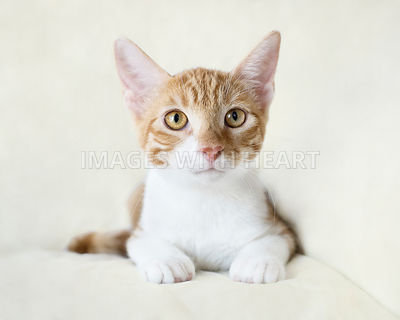 Orange and white kitten lying down looking at camera