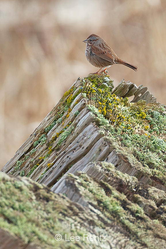 Song Sparrow Atop Lichen-encrusted Stump