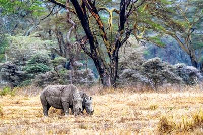 Baby and Parent White Rhino in Lake Nakuru