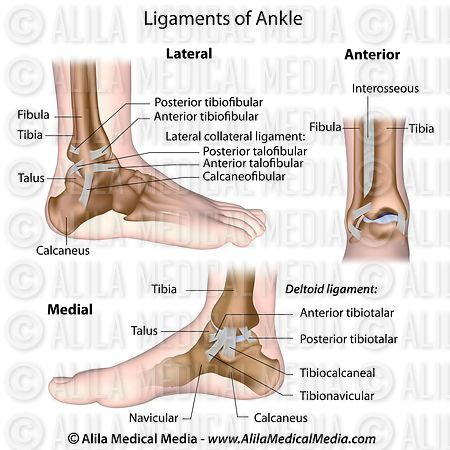 Ligaments of ankle labeled.