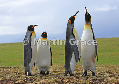 One pair of King Penguins (Aptenodytes patagonicus) watches the other pair display, Volunteer Point, East Falkland, Falkland ...