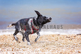 black and white dog shaking at beach