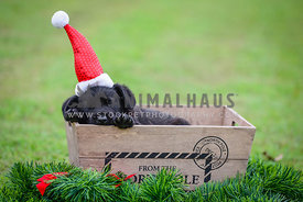tired black puppy in santa hat