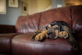 bloodhound sleeping inside on leather couch