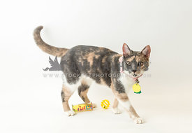 rescue tri-color cat with toys