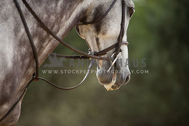 horse in english tack under saddle