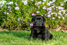 black labrador retriever puppy on lawn with flowers behind