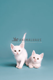 Two white kittens on a blue background