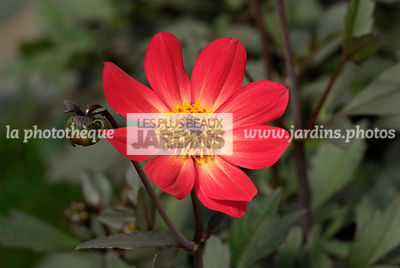 Dahlia 'Happy Flame'. BallDucrettet