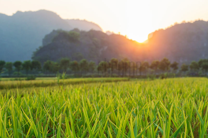 Rice Paddy at Sunset