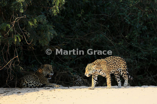 Sunlit female Jaguar (Panthera onca) 'Hunter' walks past her mate 'Hero' who is lying in the shade, Three Brothers River, Nor...