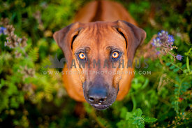 Female Rhodesian Ridgeback with amber eyes looking straight into the camera showing her ridge