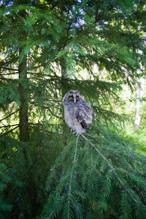 Chick of Long-eared Owl