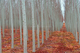 Rows of trees
