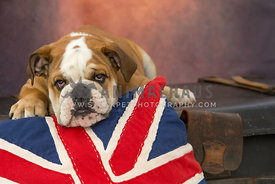 Sleepy lazy Bulldog lying on Union Jack cushion