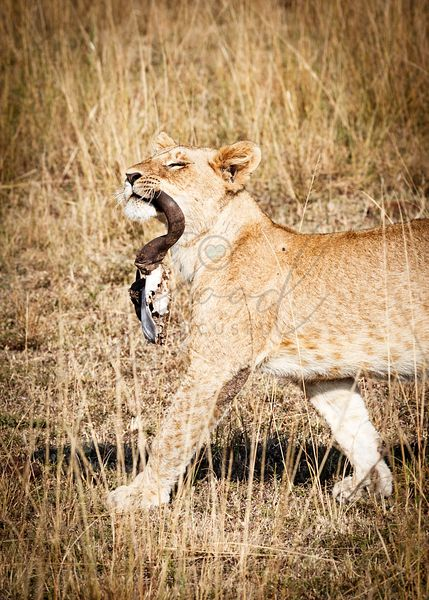 Young Lion Carrying Wildebeest Skull