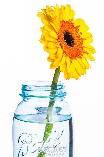 Yellow & Orange Daisy in Jar
