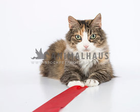 Calico with white blaze on chest pulls red ribbon on white background