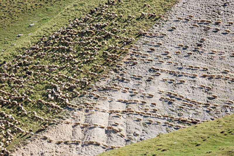 Flock of Sheep Migrating across Mountain Pass