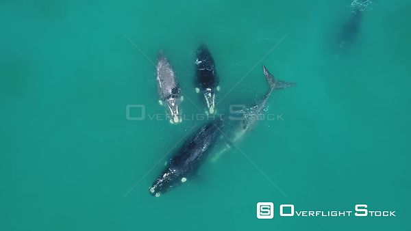 Southern Right whales mating season