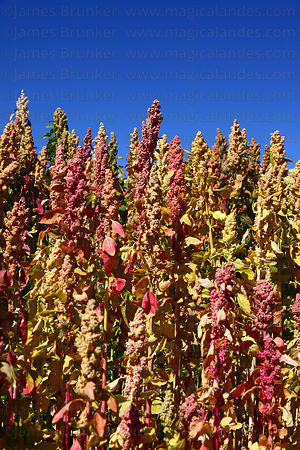 Quinoa plants ( Chenopodium quinoa ) against blue sky , Bolivia