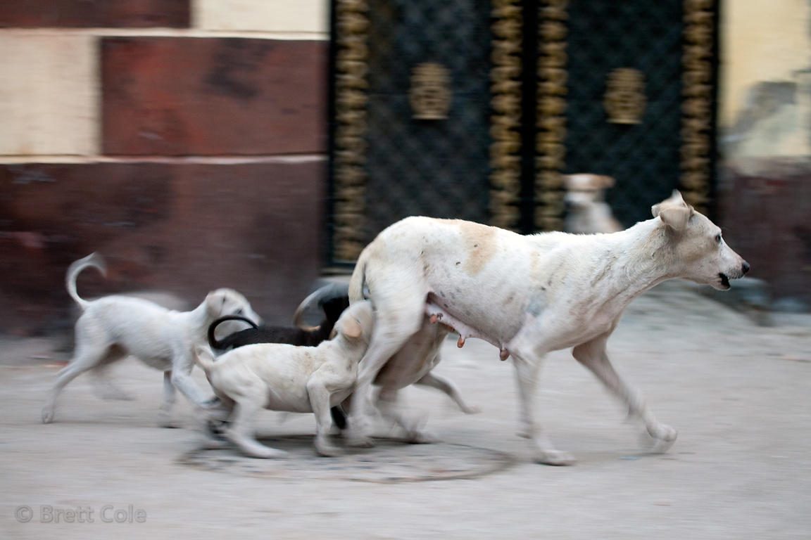 Mother dog and several nursing pups in Jodhpur, Rajasthan, India