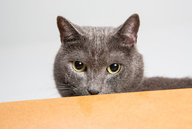 Green Eyed Grey Cat Peering Over Wooden Ledge