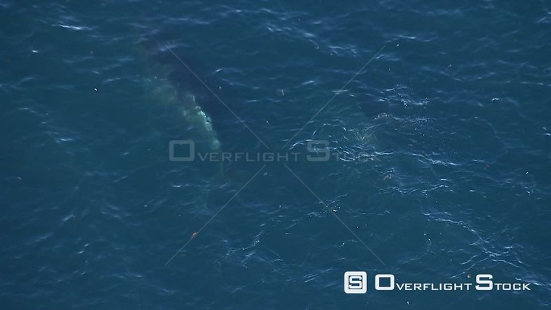 Aerial of a humpback whale swimming below the surface of the sea. Western Cape South Africa