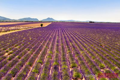 Aerial drone view of lavender field in summer, Provence