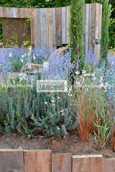 Massif fleuri : Carex buchananii, Perovskia atriplicifolia 'Blue Spire', Paysagiste : Mike Harvey (Arun Landscapes), Hampton ...