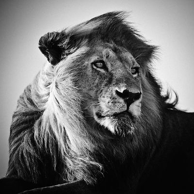5232-Lion_in_the_wind_I_Tanzania_2007_Laurent_Baheux