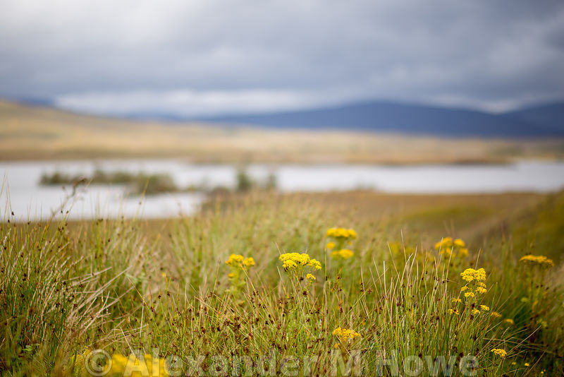 Wild yellow flowers on Rannoch Moor in Lochabar, Scotland