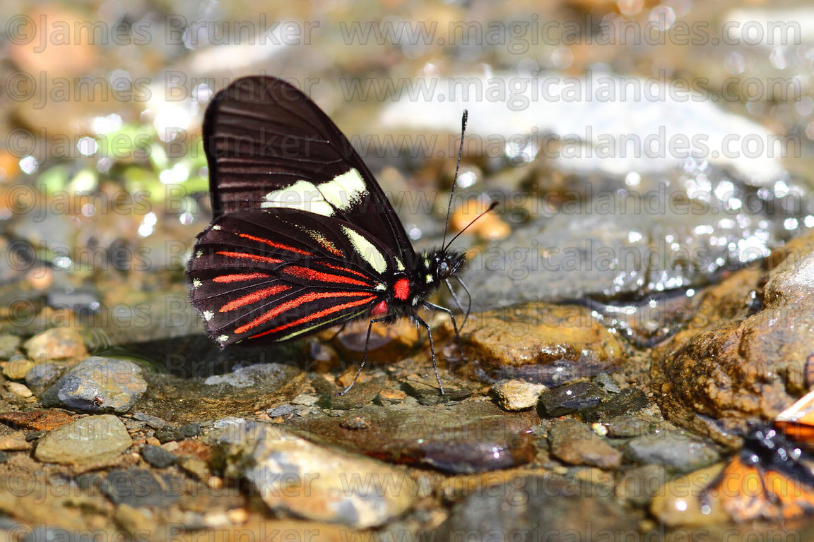 Common Longwing butterfly (Heliconius erato)