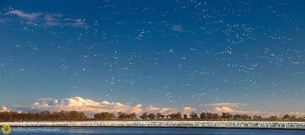 Snow Geese In Rice Field #6