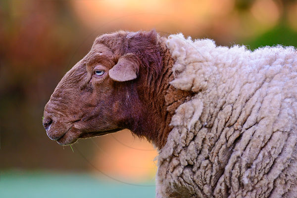 Mouton - Sheep (Ovis aries)