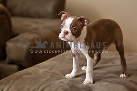 boston-terrier-puppy-standing-on-furniture