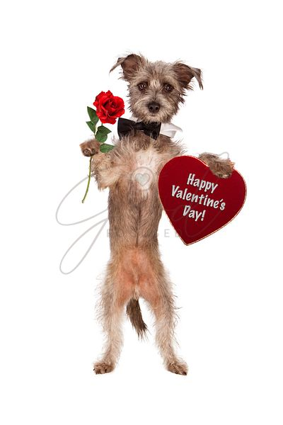 Dog Holding Rose and Valentines Day Heart