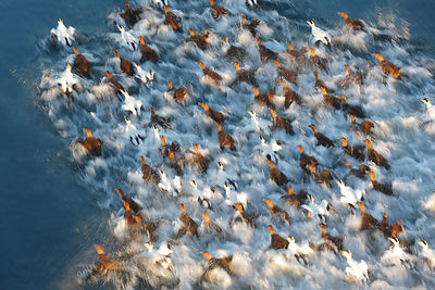 Flock of Common eiders (Somateria molissima) taking off from water, Trondelag, Norway. January.