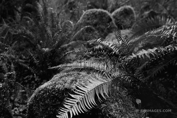 FERNS AND MOSSY STONES - SPRUCE NATURE TRAIL HOH RAINFOREST OLYMPIC NATIONAL PARK BLACK AND WHITE