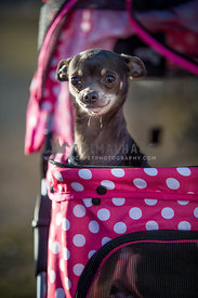 chihuahua in pink dog stroller