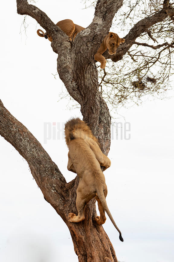 Male Lion Climbs into an Acacia Tree to try and Encourage its Mate Down
