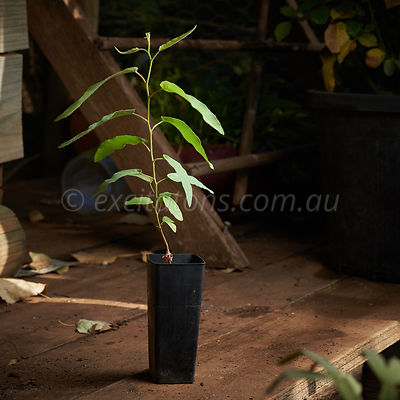 Corymbia citriodora seedling