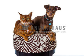 abyssinian cat and minpin on stool in the studio with white background