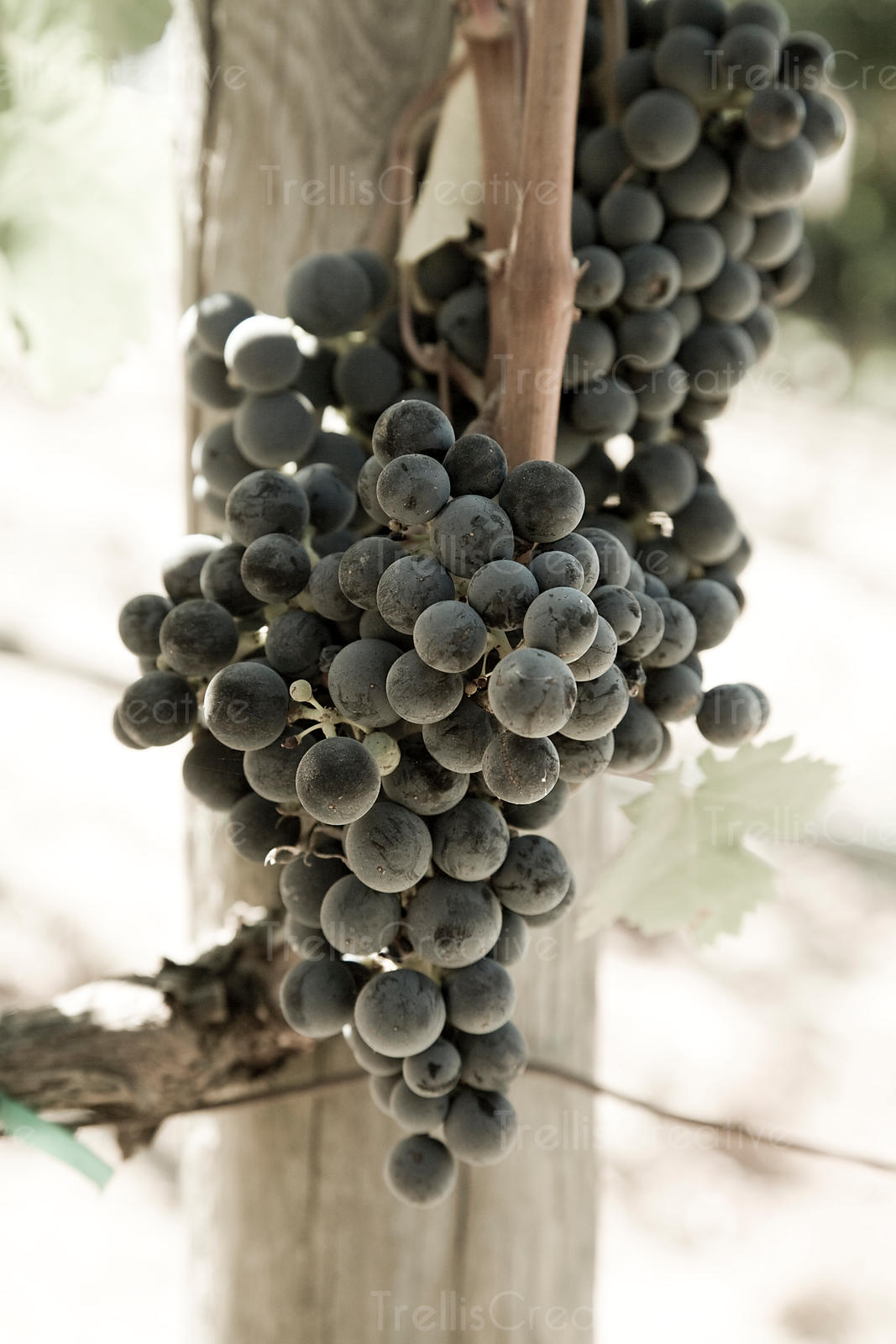Clusters of ripe petit verdot grapes hanging on the vine