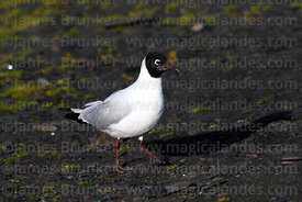 Adult Andean gull (Larus or Chroicocephalus serranus) in summer / breeding plumage