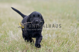 Flatcoat puppy carrying a flower